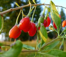 Come coltivare le bacche di goji lycium barbarum in casa for Coltivazione goji