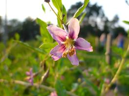 fiore di pianta di goji lycium barbarum